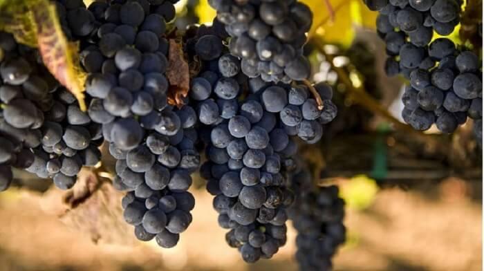 Rượu Bottega Rose được lên men từ nho Pinot Nero